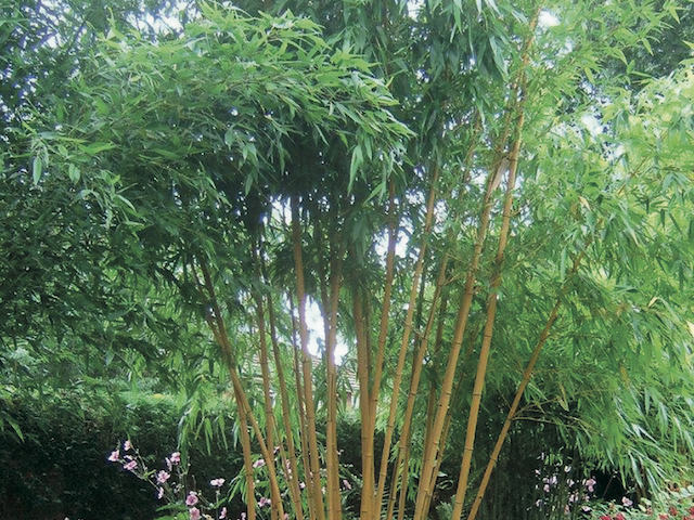 phyllostachys vivax 39 aureocaulis 39 bowdens. Black Bedroom Furniture Sets. Home Design Ideas