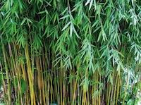 Bamboo Beste Fargesia Jiuzhaigou