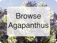 Browse Agapanthus