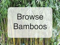 Browse Bamboos