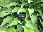 Hosta 'Pineapple Poll'